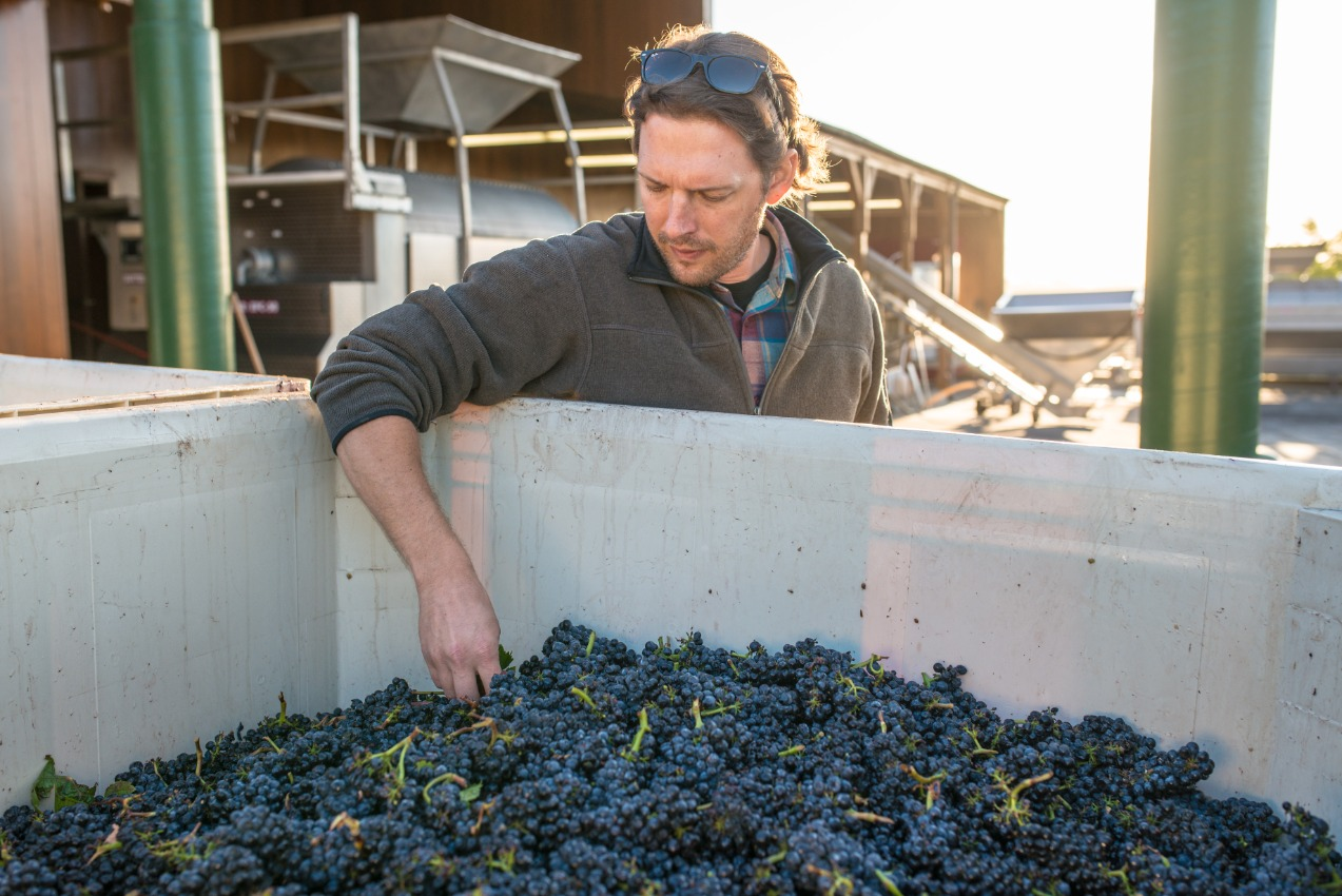 man at winery facility inspects grapes