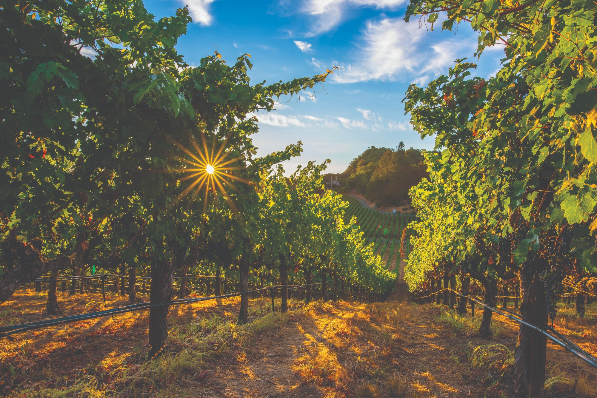sunset in a lush green vineyard